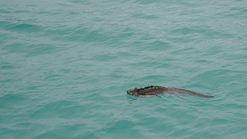 海で泳ぐガラパゴスウミイグアナ
