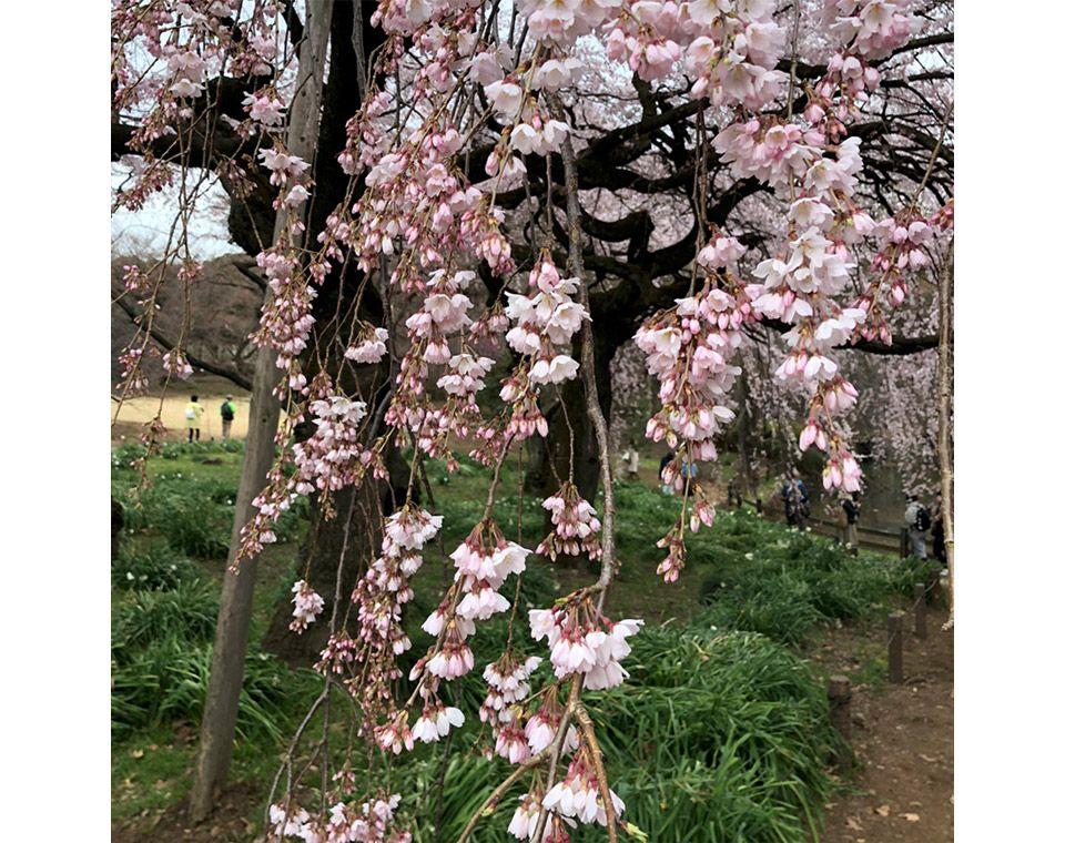 新宿御苑のしだれ桜のアップ