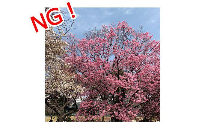 よくある桜の構図