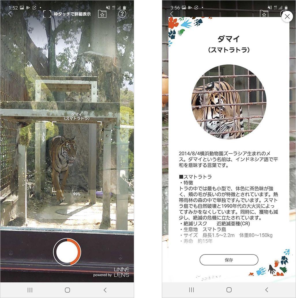 東山動植物園のスマトラトラ