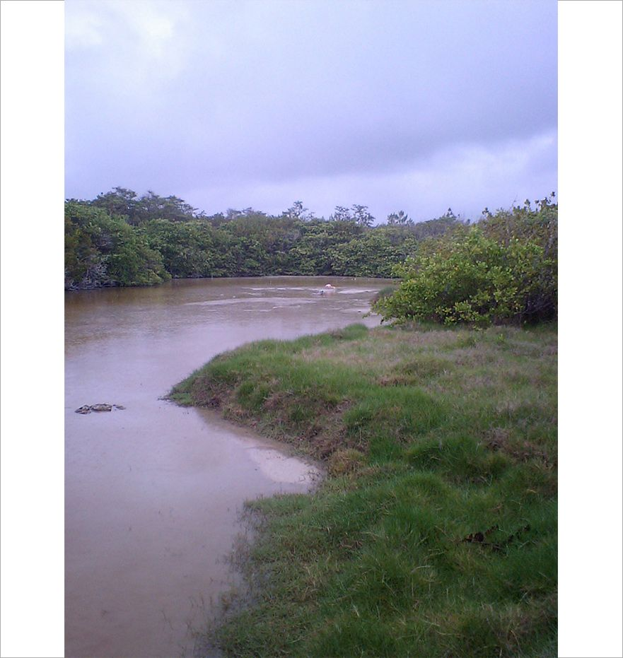 川の中央にかすかに映るオオフラミンゴ