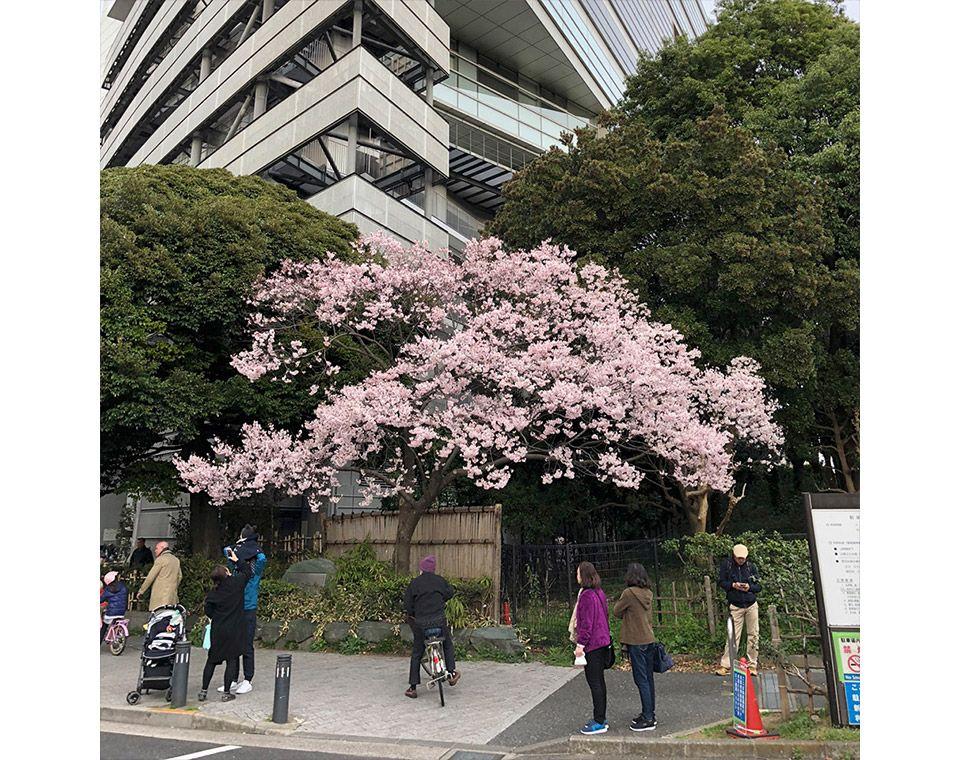 新宿御苑の大木戸門前にある満開の桜