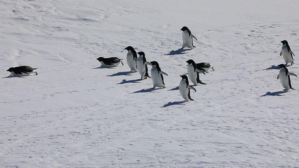 滑ったり、歩いたりしているペンギンの群れ