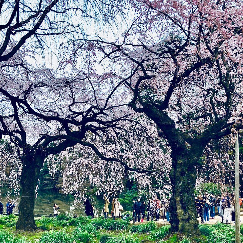プロカメラマンが撮る新宿御苑の満開の桜