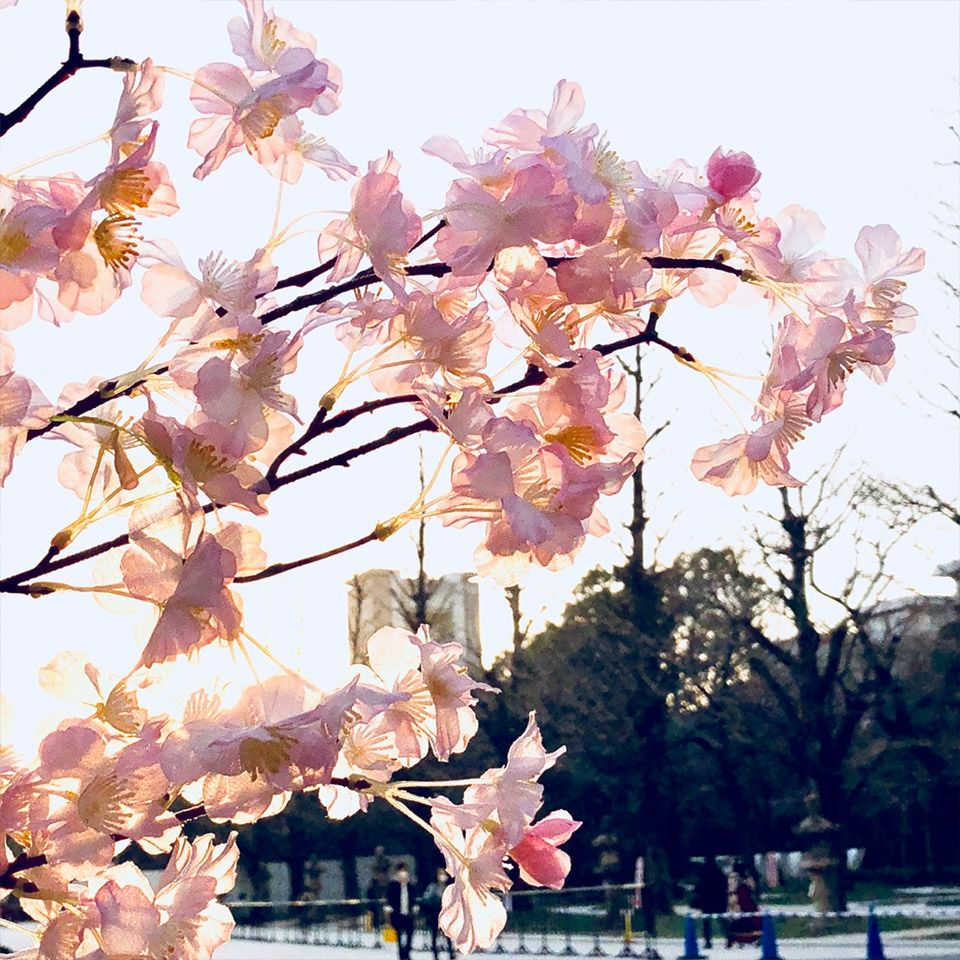 逆光で美しく撮影した靖国神社の桜