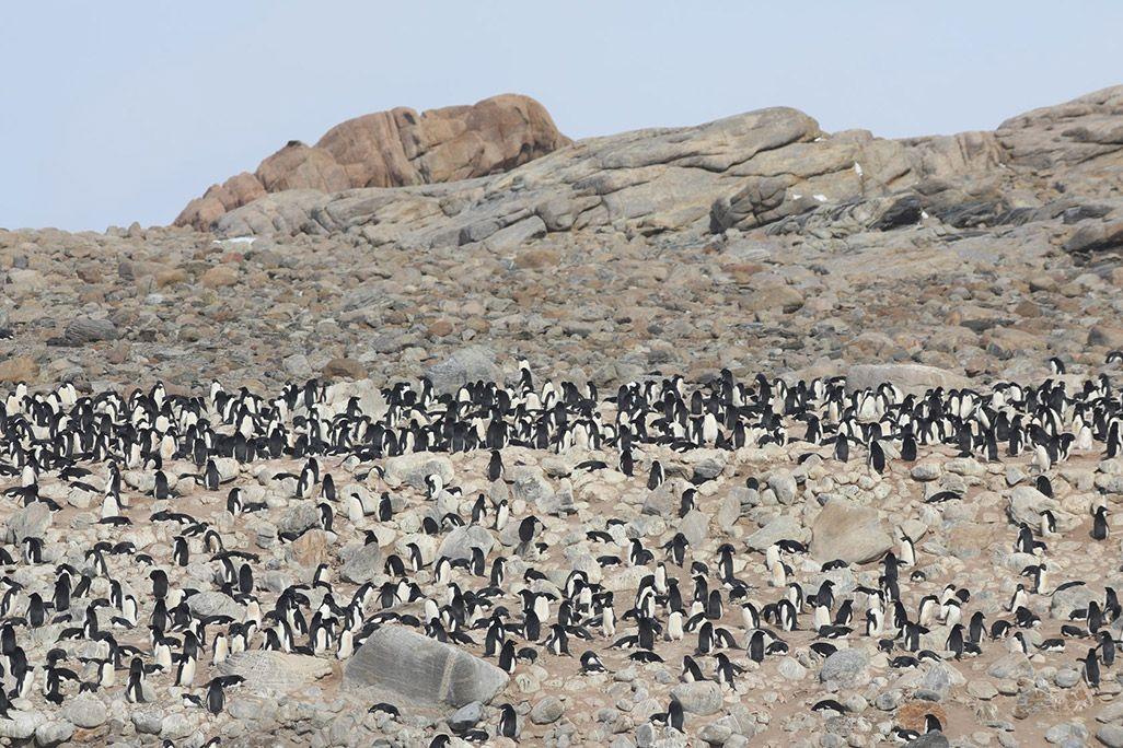 南極のペンギンの繁殖地であるルッカリ