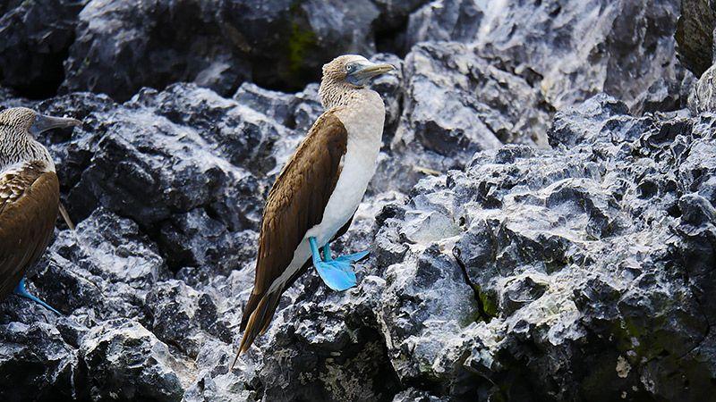 岩の上にいるアオアシカツオドリ