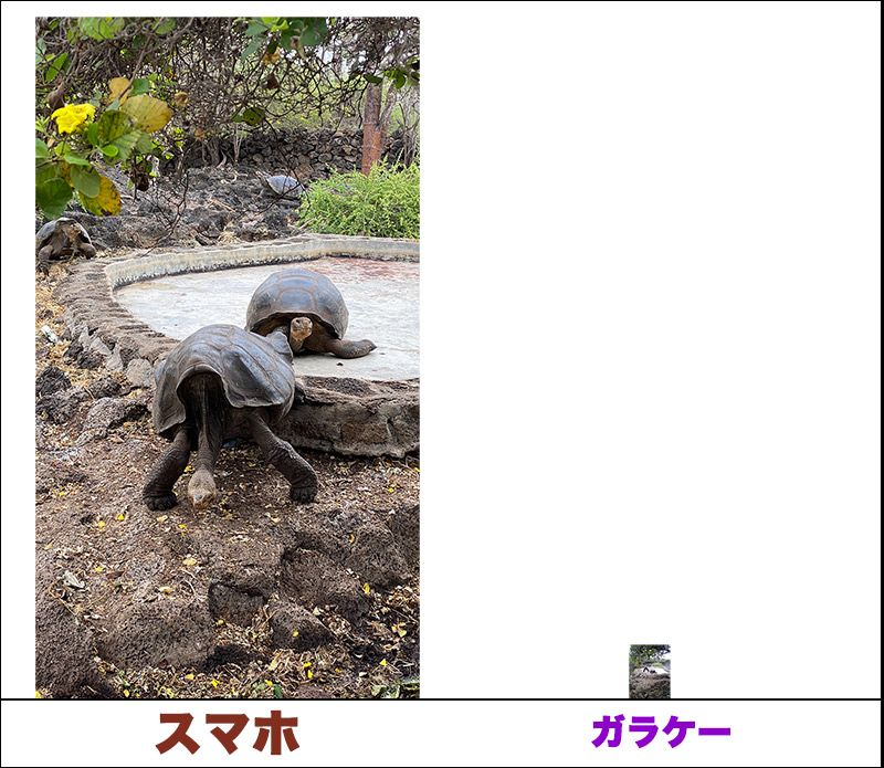 ガラパゴスゾウガメの比較写真