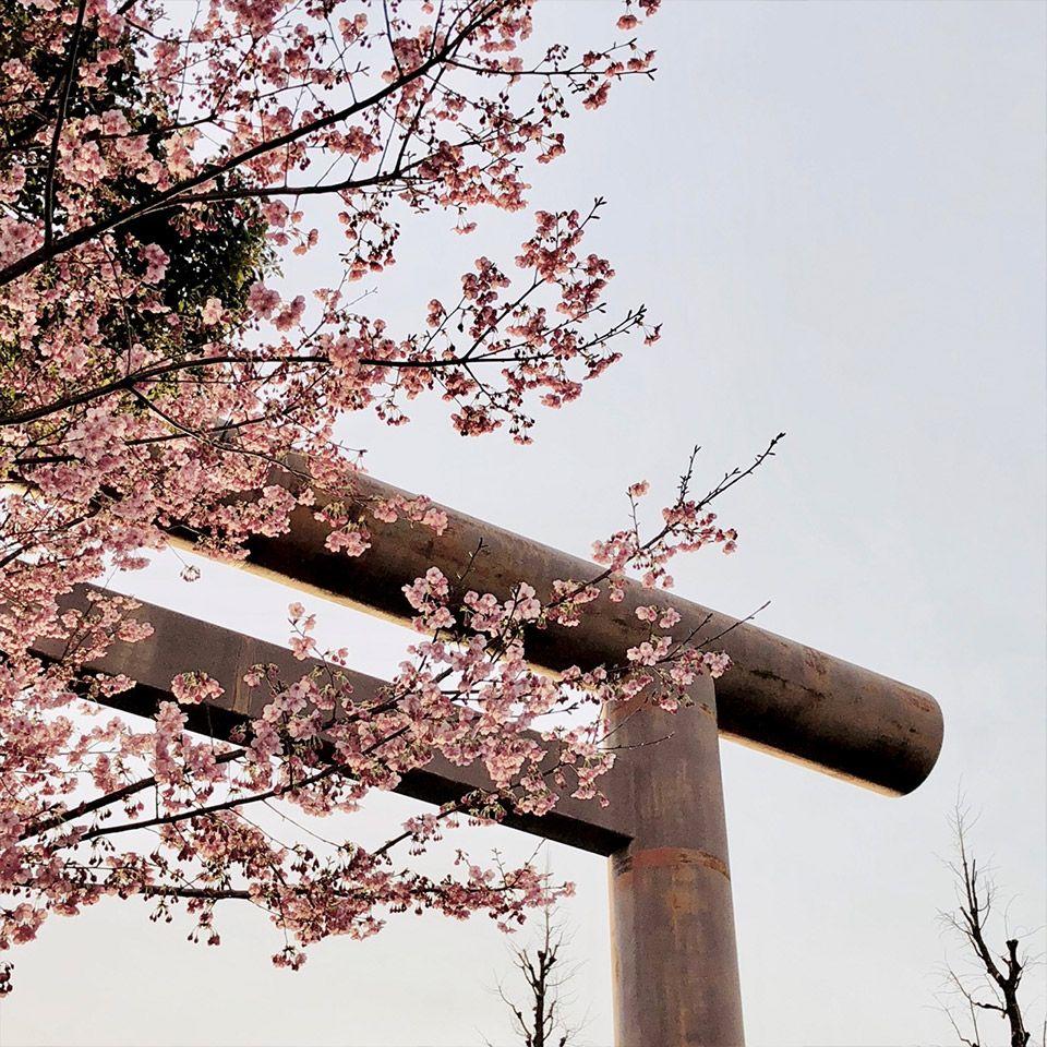 靖国神社の大鳥居と桜