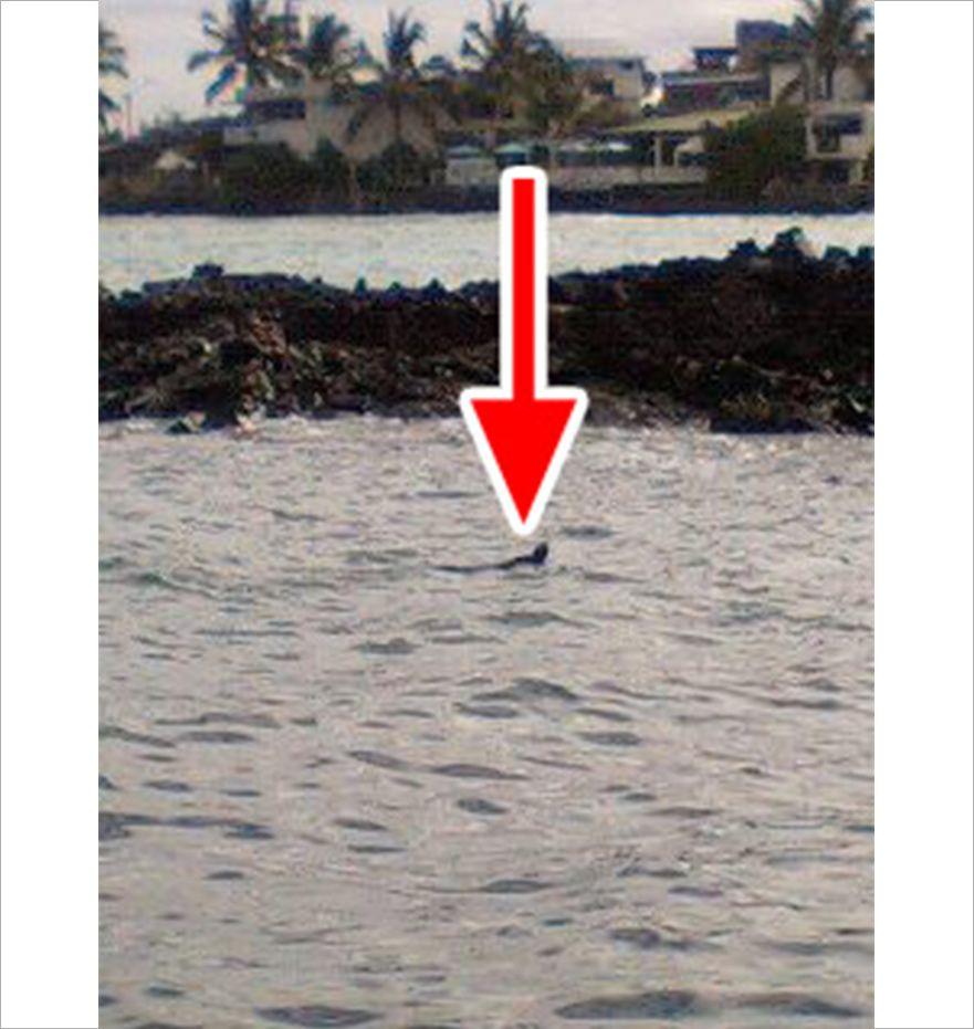 泳いでいるガラパゴスウミイグアナ