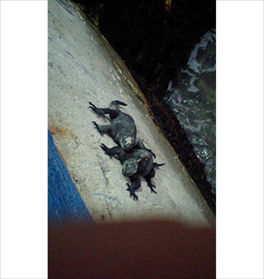 ガラケーで撮影したガラパゴスウミイグアナのズーム