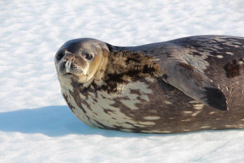 南極のアザラシ
