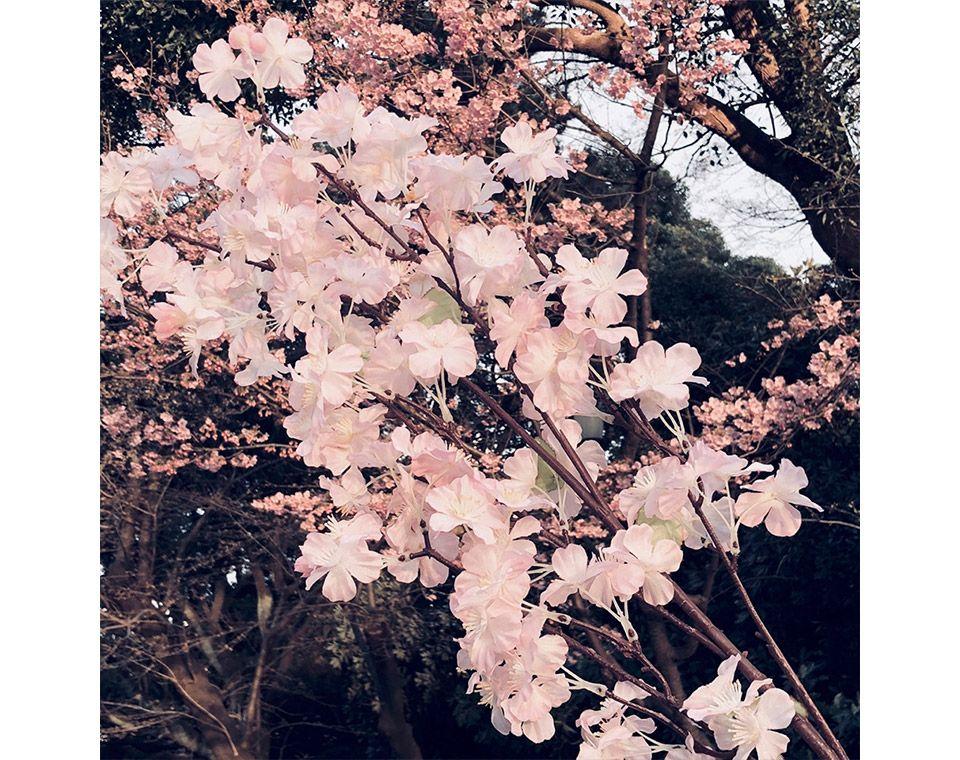 順光で撮影した靖国神社の桜