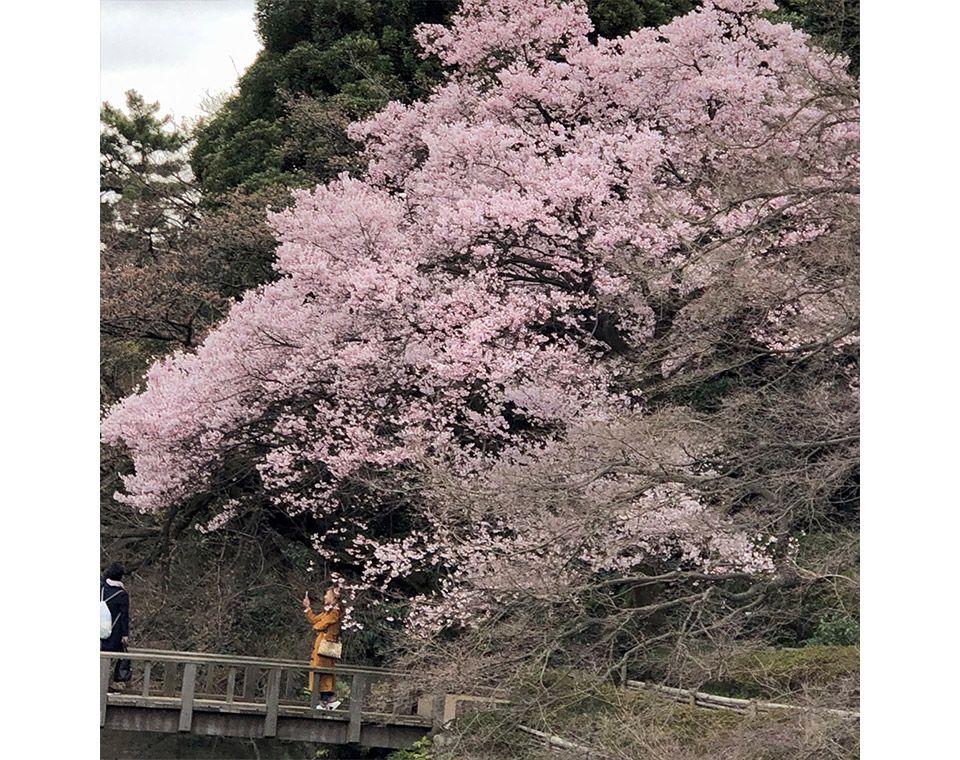 新宿御苑の池のほとりの桜をズーム撮影