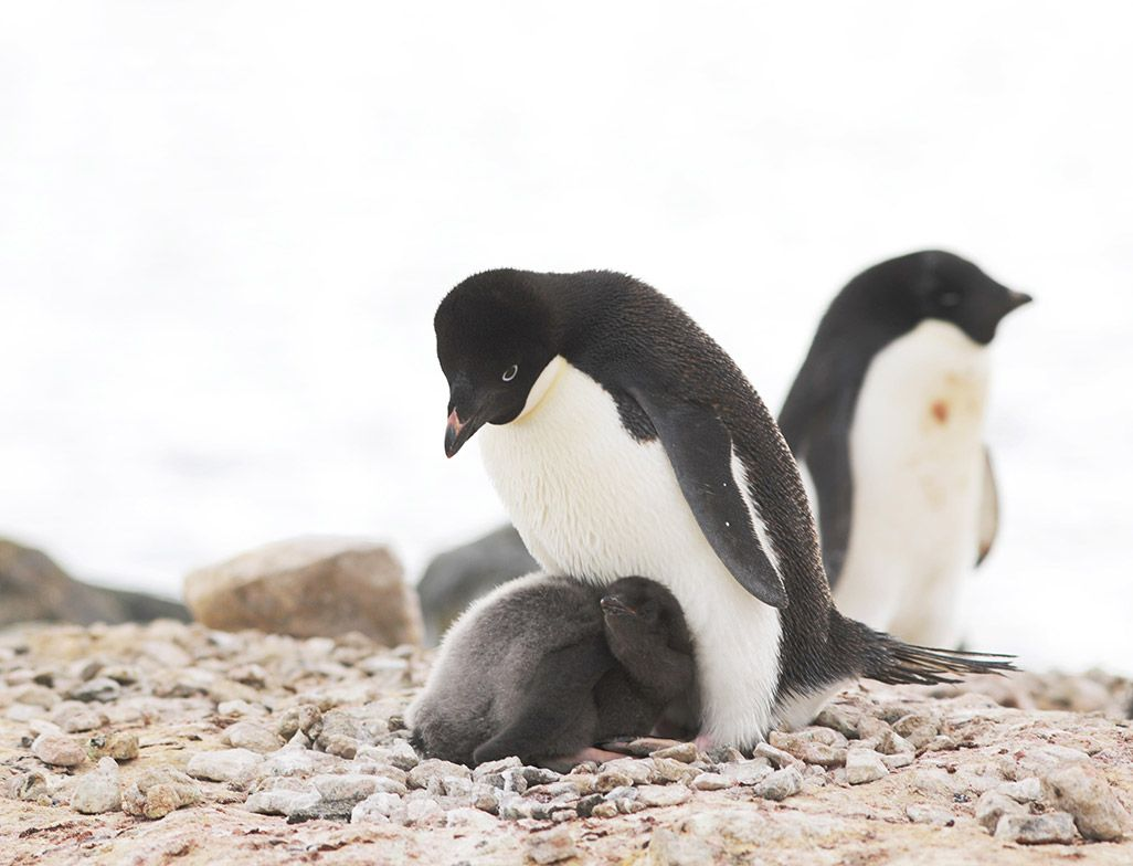 南極昭和基地周辺のペンギン