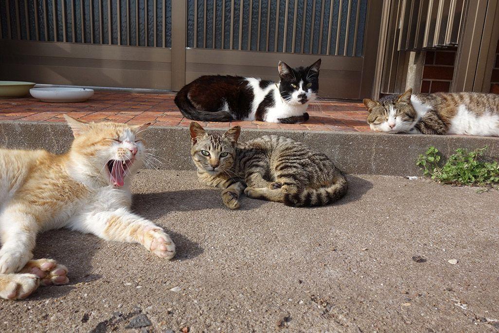 小値賀島のあくびをする猫