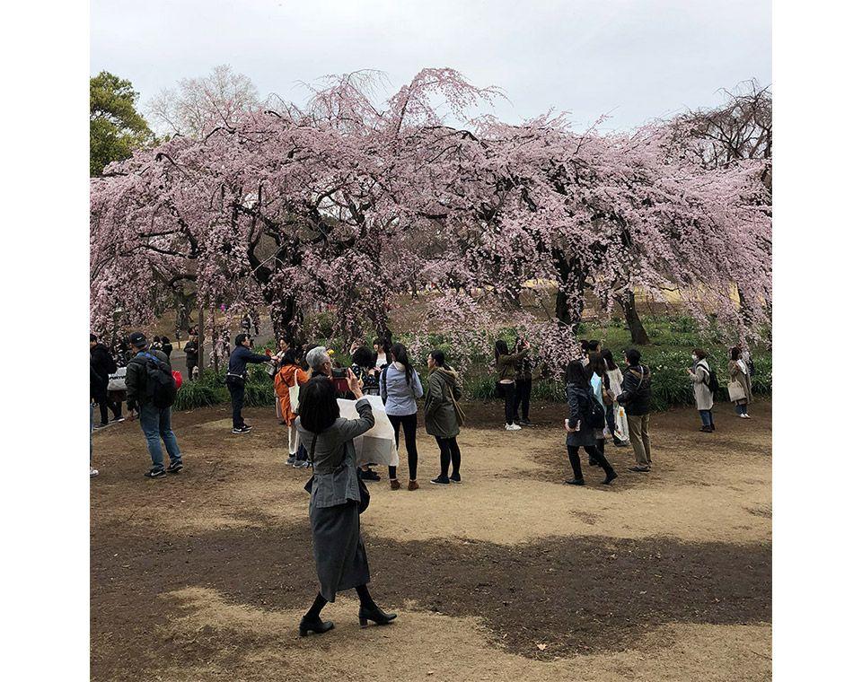 新宿御苑のしだれ桜に集まる花見客