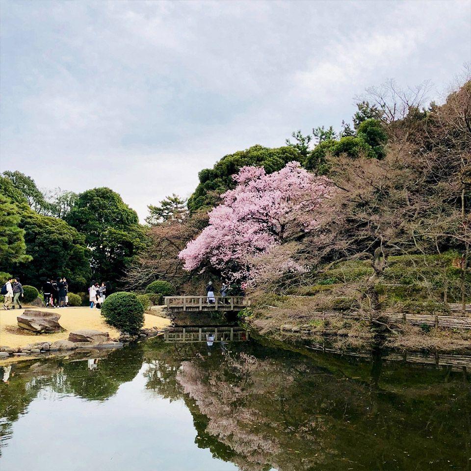 新宿御苑の池のほとりに咲く満開の桜