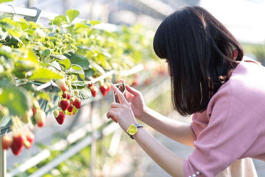 「久我原駅」から徒歩で約20分の「高梨農園」のイチゴ