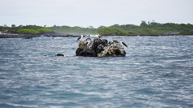 小さな岩にいるアオアシカツオドリ