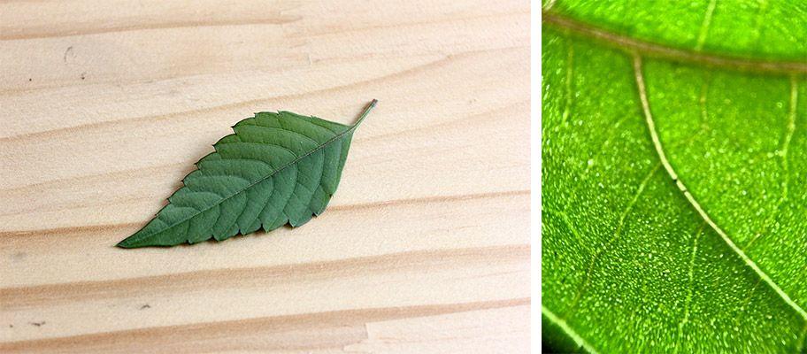 スマホ25顕微鏡で葉っぱを観察