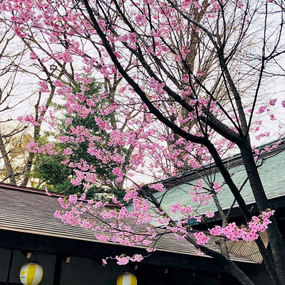 靖国神社にある茶店と綺麗な桜