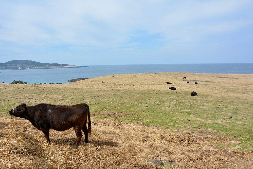 小値賀島の長崎鼻で草を食む牛