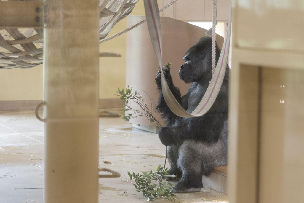 東山動植物園のゴリラ