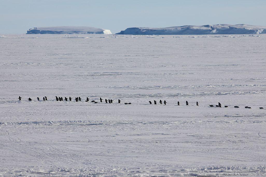 海氷上を一列になって進むアデリーペンギンの群れ